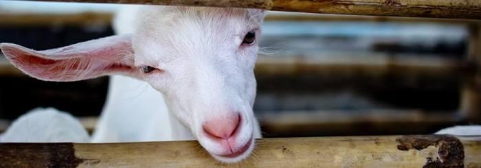 Cabra | animal-ethics.org